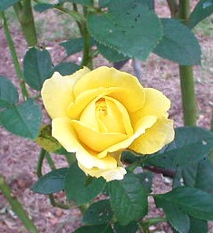 代々木公園の黄色のバラ