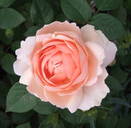 第10回 International Roses & Gardening Show International Roses & Gardening Show 国際バラとガーデニングショウ ウェルカムガーデン アンブリッジ・ローズ