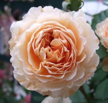 第10回 International Roses & Gardening Show International Roses & Gardening Show 国際バラとガーデニングショウ デビッド・オースチンのイングリッシュローズアベニュー クラウン・プリンセス・マルガリータ