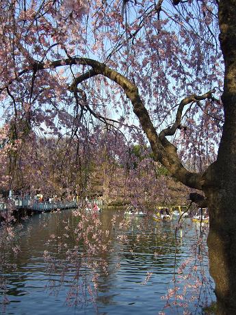 井の頭公園 桜開花♪2_s