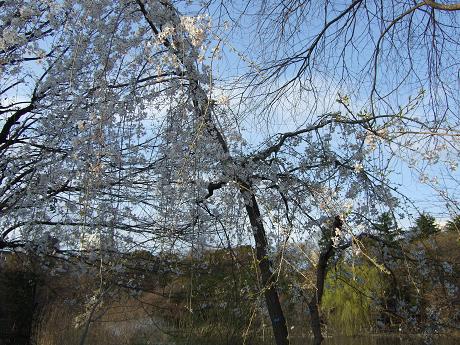 井の頭公園 桜開花♪3_s