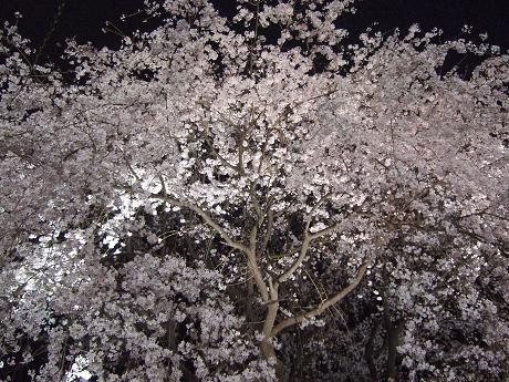 六義園 しだれ桜と大名庭園のライトアップ 駒込・千石・巣鴨11_s