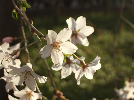 六義園 しだれ桜と大名庭園のライトアップ 駒込・千石・巣鴨2_s