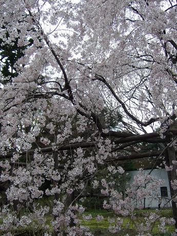 六義園 しだれ桜と大名庭園のライトアップ 駒込・千石・巣鴨6_s