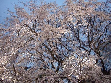 六義園 しだれ桜と大名庭園のライトアップ 駒込・千石・巣鴨9_s