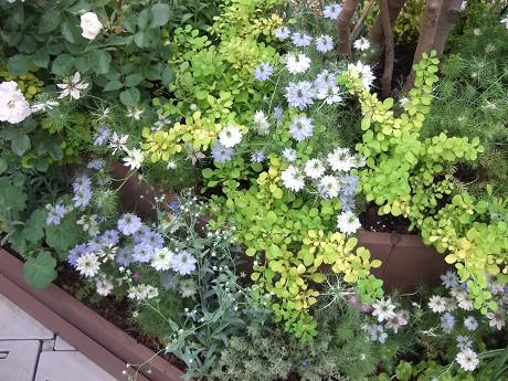 第11回 International Roses & Gardening Show International Roses & Gardening Show 国際バラとガーデニングショウ ニゲラ(Nigella)(クロタネソウ、フウセンポピー)(Love-in-a-mist、Devil-in-a-bush)