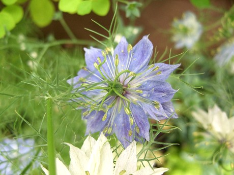 第11回 International Roses & Gardening Show International Roses & Gardening Show 国際バラとガーデニングショウ ニゲラ(Nigella)(クロタネソウ、フウセンポピー)(Love-in-a-mist、Devil-in-a-bush)_5