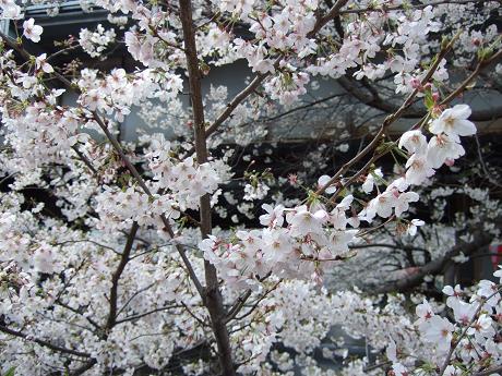 目黒川でお花見 満開の桜たち 2010 中目黒・池尻大橋