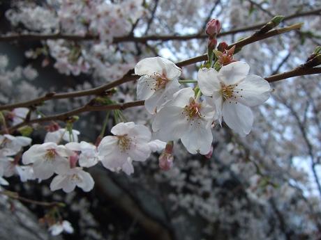 目黒川でお花見 満開の桜たち 2010 中目黒・池尻大橋_1