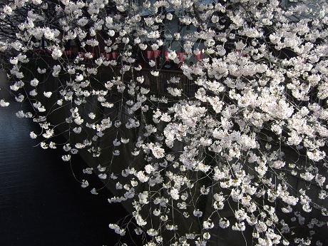 目黒川でお花見 満開の桜たち 2010 中目黒・池尻大橋_10