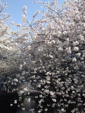 目黒川でお花見 満開の桜たち 2010 中目黒・池尻大橋_11