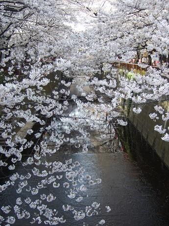 目黒川でお花見 満開の桜たち 2010 中目黒・池尻大橋_12