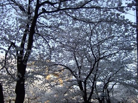目黒川でお花見 満開の桜たち 2010 中目黒・池尻大橋_13