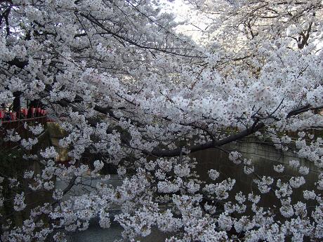 目黒川でお花見 満開の桜たち 2010 中目黒・池尻大橋_14