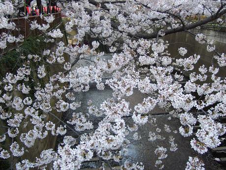 目黒川でお花見 満開の桜たち 2010 中目黒・池尻大橋_15