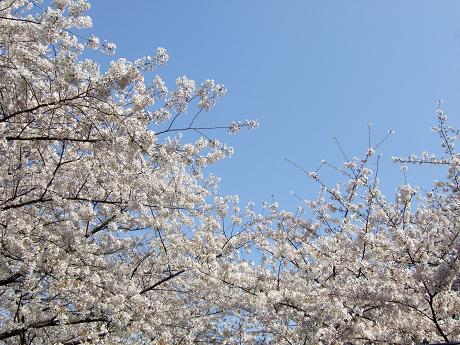 目黒川でお花見 満開の桜たち 2010 中目黒・池尻大橋_16