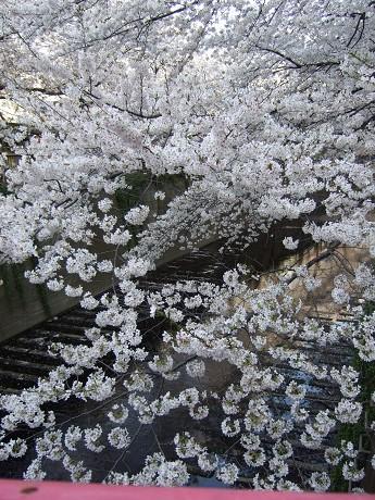 目黒川でお花見 満開の桜たち 2010 中目黒・池尻大橋_17