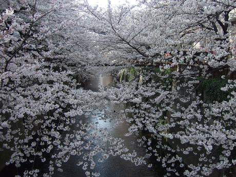目黒川でお花見 満開の桜たち 2010 中目黒・池尻大橋_2