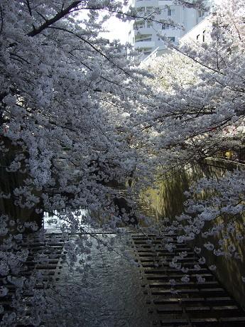 目黒川でお花見 満開の桜たち 2010 中目黒・池尻大橋_20
