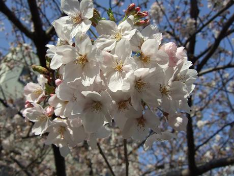目黒川でお花見 満開の桜たち 2010 中目黒・池尻大橋_21