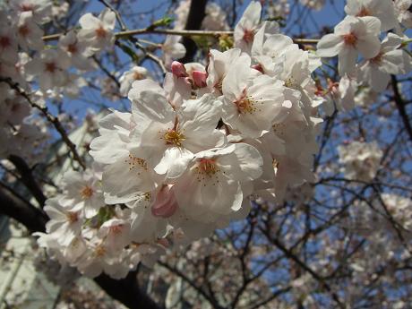 目黒川でお花見 満開の桜たち 2010 中目黒・池尻大橋_22