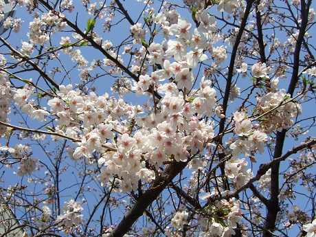 目黒川でお花見 満開の桜たち 2010 中目黒・池尻大橋_23