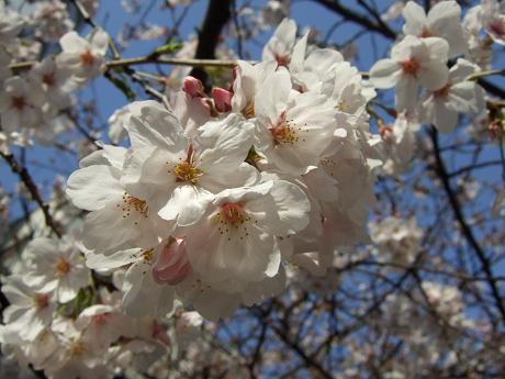 目黒川でお花見 満開の桜たち 2010 中目黒・池尻大橋_24
