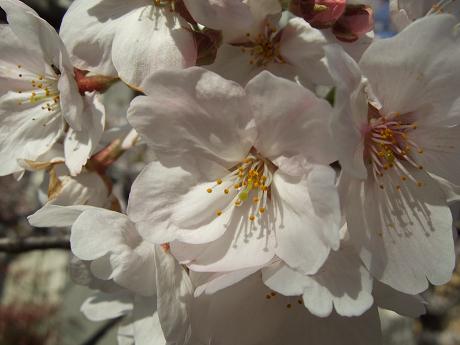 目黒川でお花見 満開の桜たち 2010 中目黒・池尻大橋_25