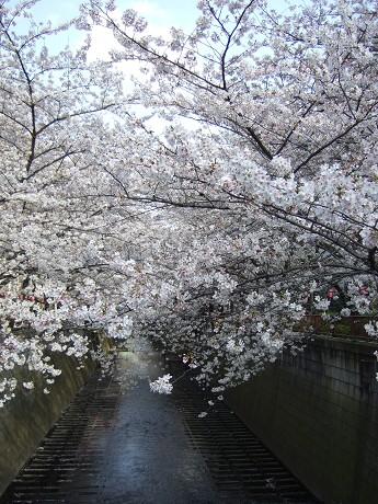 目黒川でお花見 満開の桜たち 2010 中目黒・池尻大橋_28