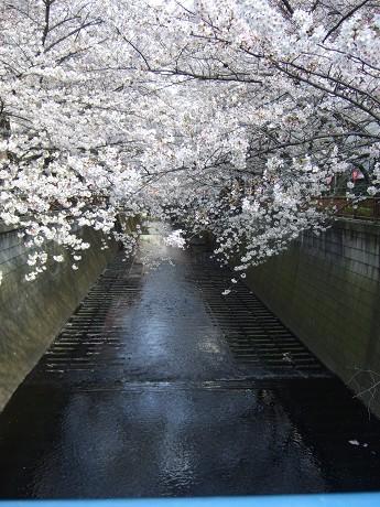 目黒川でお花見 満開の桜たち 2010 中目黒・池尻大橋_29