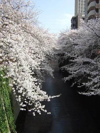 目黒川でお花見 満開の桜たち 2010 中目黒・池尻大橋_3