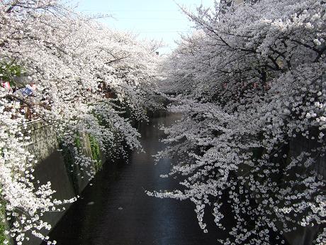 目黒川でお花見 満開の桜たち 2010 中目黒・池尻大橋_4