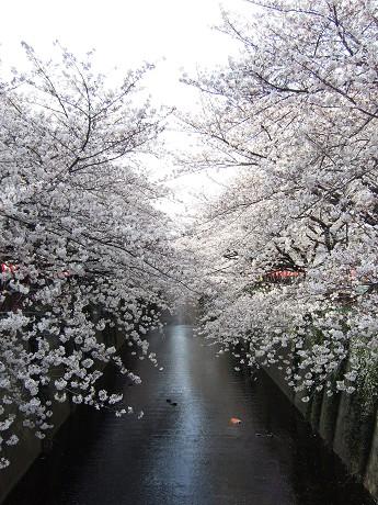 目黒川でお花見 満開の桜たち 2010 中目黒・池尻大橋_6