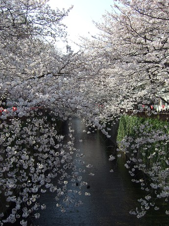 目黒川でお花見 満開の桜たち 2010 中目黒・池尻大橋_7