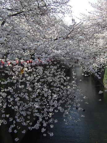 目黒川でお花見 満開の桜たち 2010 中目黒・池尻大橋_8