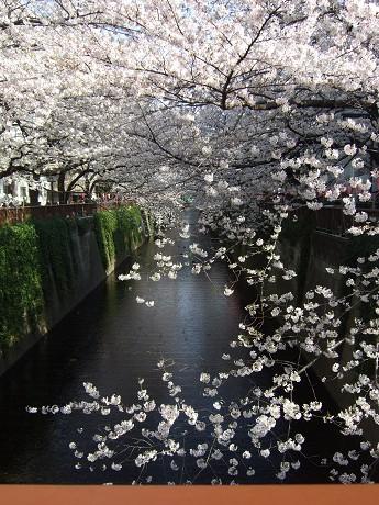 目黒川でお花見 満開の桜たち 2010 中目黒・池尻大橋_9