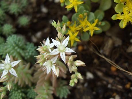 セダム 多肉植物 黄金丸葉万年草(オウゴンマルバマンネングサ)&その他のセダム