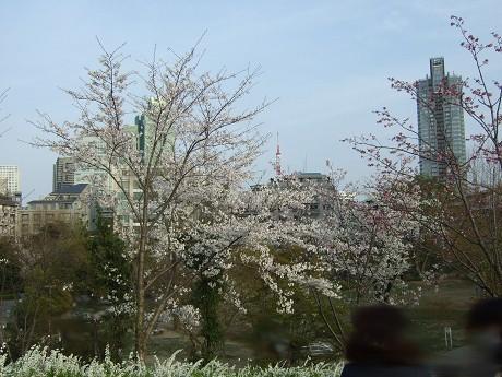 桜 2011_11