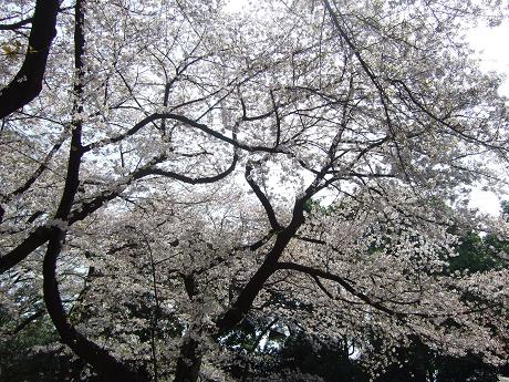 桜 2011_12