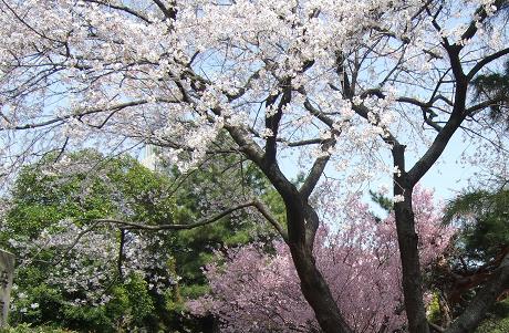 桜 2011_14