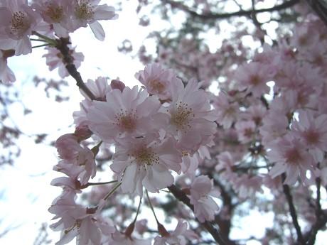 桜 2011_3