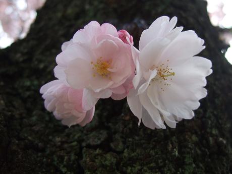 桜 2011_4