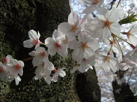 桜 2011_5