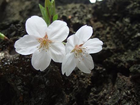 桜 2011_6