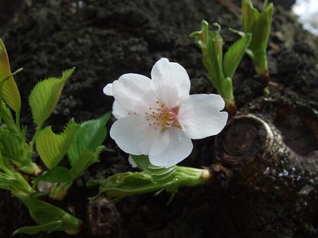 桜 2011_7