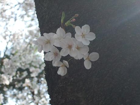 桜 2011_8