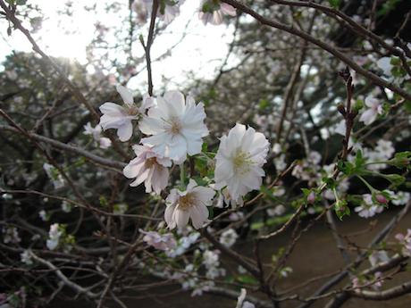 新宿御苑 2011 4 十月桜_12