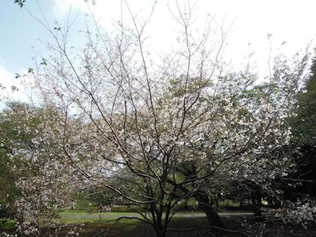 新宿御苑 2011 4 十月桜_5