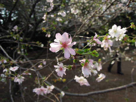 新宿御苑 2011 4 十月桜_7
