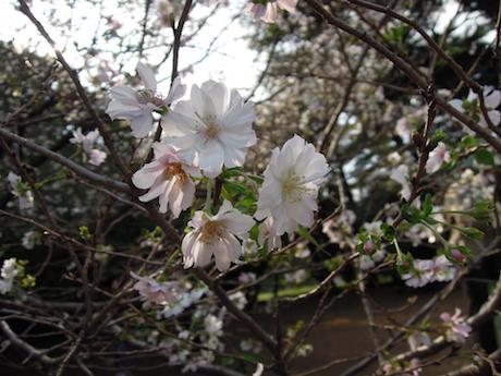 新宿御苑 2011 4 十月桜_8
